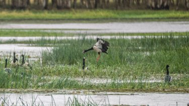 Birdlife at the Mungulla Wetlands.
