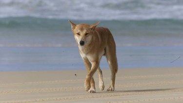 A dingo on the beach on Fraser Island.