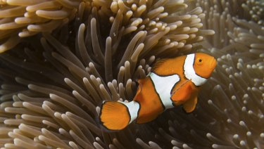 A clown fish on the Great Barrier Reef.