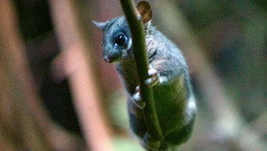 The critically endangered Leadbeater's possum lives in tree hollows in Victoria's central highlands.