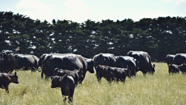 Angus cattle graze at Eliza Holt and James McKenna's farm.