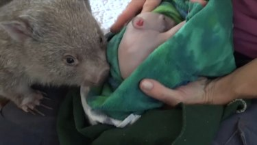 She cares for up to 60 wombats, from tiny pink joeys to 35 kilogram adults, at her home at any one time.