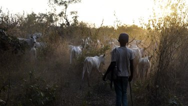 A herdsboy leads animals to feed in the bush in Lafia capital of Nasarawa state, north-central Nigeria.