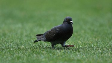 Pigeons ruffle feathers, prompt law rewrite around airfield