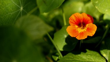 Nasturtiums come in colours ranging from white and cream to a deep red or flaming scarlet and bi-coloured varieties.