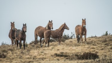 Wild horses have been granted priority protection in the Kosciuszko National Park by the Berejiklian government.