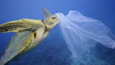 A sea turtle with a plastic bag on its nose in waters off Cairns.
