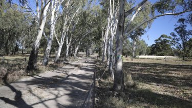 River red gums are not native, but still perform important functions for the cockies.