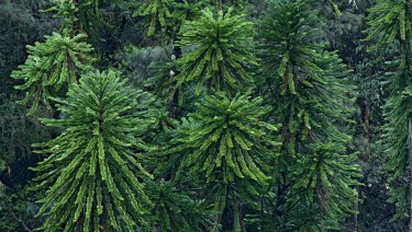 "The Wollemi pine saw its status on the threatened species list downgraded from ""endangered"" to ""critically endangered"" due to the introduction of phytophthora disease into its secluded habitat."