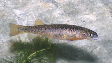 A stocky galaxias freshwater fish, which is part of a critically endangered population in Kosciuszko National Park.