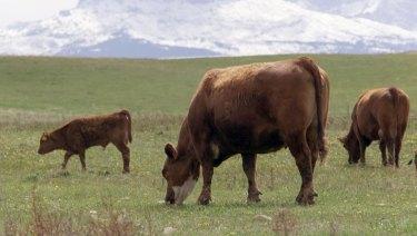 Cattle graze in a pasture in Canada.