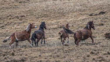 Brumbies in the Kiandra high country, in the Kosciuszko National Park.