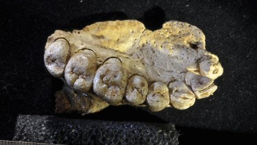 A portion of the upper left jaw and teeth from the Misliya-1 fossil.