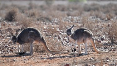 Kangaroos near White Cliffs in a drought-hit part of far-western NSW in August.