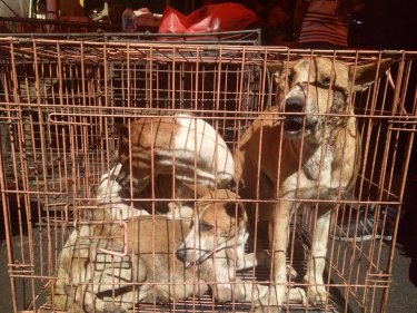 "Dogs in cages await slaughter at an ""extreme market"" in Indonesia."