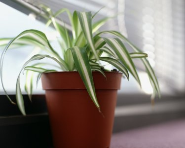 Indoor plants like the Spider plant help keep air clean.