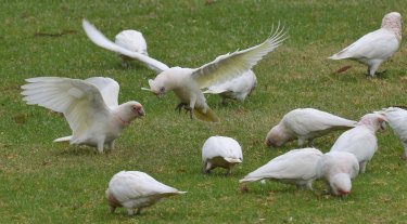 Corellas are causing problems across the nation.