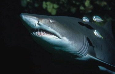 A grey nurse shark, one of the shark species in Australian waters that is already endangered before the impacts of climate change take effect.