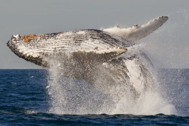 An estimated 30,000 humpback whales are expected to migrate from Antarctica to Queensland this year.