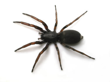 White-tailed spiders lurk under rocks and leaf litter, in horse rugs and discarded clothes.