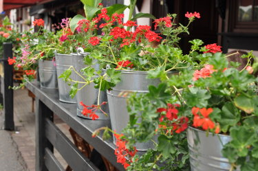 A troupe of red geraniums can make any garden dance with joy.