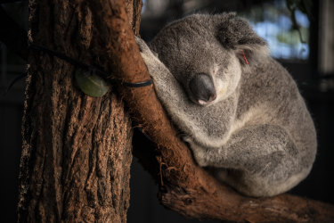 Koalas will receive a $193 million boost from the recent budget but full details of the plan to double their numbers in the wild by 2050 have yet to be released.