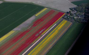 Fields of flowers bloom in colourful rows in Keukenhof garden in Lisse.