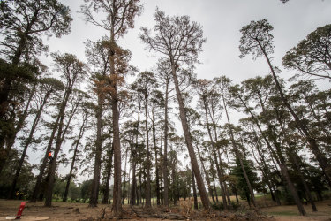 Dead pines are being removed from Yarralumla Dog Park, to be replaced by other species.