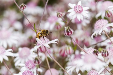 Lots to choose from: A bee lands on a pink flannel flower (Actinotus forsythii) near the Golden Stairs lookout in the Blue Mountains.