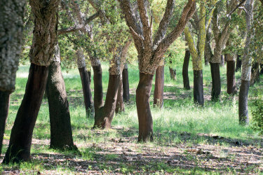 Cork Oaks in Canberra's National Arboretum.