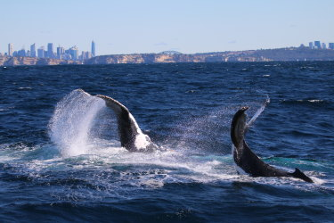 Humpbacks off Sydney in July 2020: numbers of the giant mammal are growing rapidly and are believed to be approaching pre-whaling days.