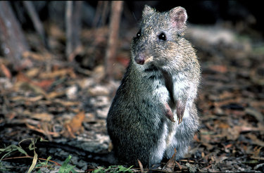 The Gilbert's potoroo is among nine mammals deemed by the federal government to be critically endangered, while two other potoroos are on the endangered list. The broad-faced potoroo, though, is one of 27 mammals in Australia deemed to have become extinct since the arrival of Europeans.