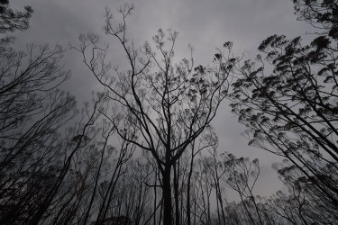 Burnt trees in Wingello State Forest; almost two-thirds of harvestable native forests were damaged in the Black Summer blazes.
