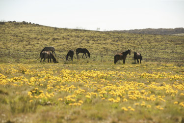 Feral horses at Long Plain near Kiandra, from last November. The latest count suggests numbers in the park may have fallen although researchers say they remain unsustainably high for the delicate alpine ecosystems of the Kosciuszko National Park.