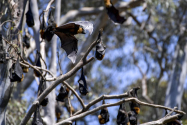 Grey-headed flying foxes are among species that show mass deaths can occur if temperatures rise above a certain level, such as 42 degrees for these mammals.