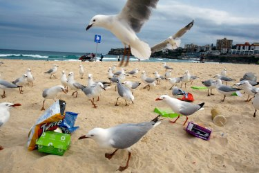 Rubbish left at Bondi Beach attracts the interest of a large group of seagulls.