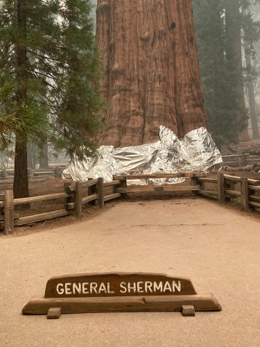The base of the General Sherman tree has been wrapped in a fire-resistant aluminium blanket.