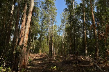 Destroyed trees and vegetation in the Lower Bucca State Forest, near Coffs Harbour, NSW.