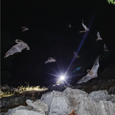 The application of advanced monitoring technology is enabling scientists to keep a better track of how the threatened tiny microbat populations are faring.