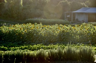 Sunflowers on the farm.