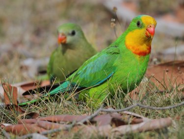 "Delivery drones could have a ""significant impact"" on local wildlife, such as the superb parrot, the government says."