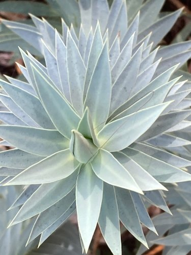 Euphorbia rigida is unruffled by heat, tolerant of great dryness and impervious to the cold.