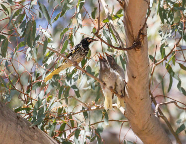 Regent Honeyeater with juvenile chicks waiting for a feed in the forests of north-east NSW.