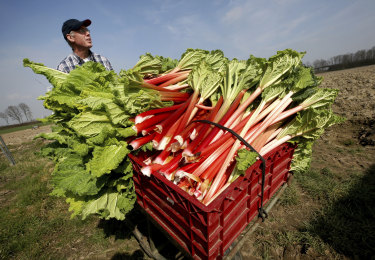 Vegetable farmer Herbert Wilms drives baskets full of harvested rhubarb stalks out of his heated foil tunnel for further processing in Kaarst, Germany.