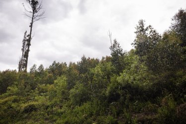 Dense forest returns after logging in the Victorian Central Highlands.