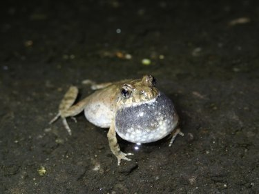 The bleating froglet was among the 70 per cent of frog species deemed to struggling with altered habit.