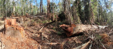 One of the giant trees allegedly felled illegally by the state-owned Forestry Corp in the Wild Cattle Creek State Forest earlier this year.