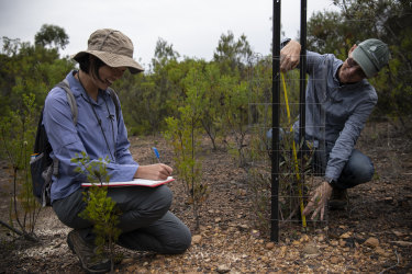 Ecologist Enhua Lee (left) from the NSW Government's Saving Our Species unit checks on progress of one of the plantings of the Cattai tree in its new climate-friendly location south of Sydney. She is joined by Brett Summerell, director Science and Conservation at the Royal Botanic Garden.
