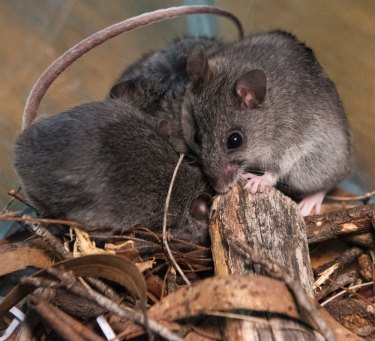 The critically endangered smoky mouse may have lost a quarter of its habitat in NSW and potentially more in Victoria because of the fires.
