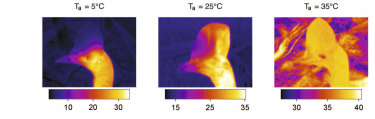 Thermal images show how the cassowary regulates its body temperature - in cooler temperature shown left, warm blood is restricted from the casque and remains in the body. At right, it flows into the casque where it is cooled before being pumped back into the body.